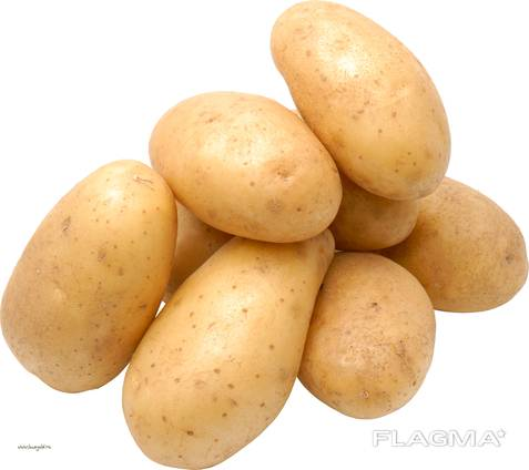 Potato (white) harvest /19. at the lowest pri'ce. size 40-60