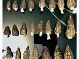Amanita muscaria and Morchella conica and Sarcodon imbricatus - фото 5