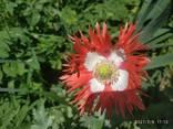 Маки декоративные (семена) - фото 8