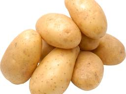 Potato (white) harvest /19. at the lowest pri'ce. size 40-60 - фото 1