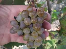Виноград винный (Ркацители)